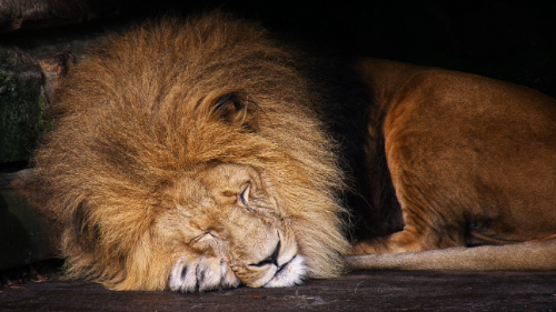Male lion curled up, asleep