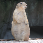 groundhog standing up